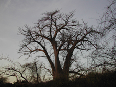 Baobab trees in Senegal